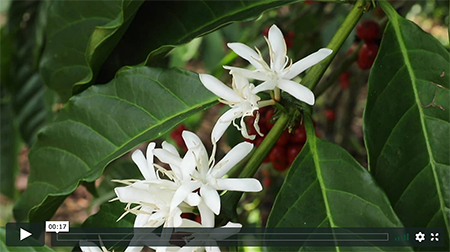 Feature image cover for video: Coffee Flowers for Mother's (Earth) Day